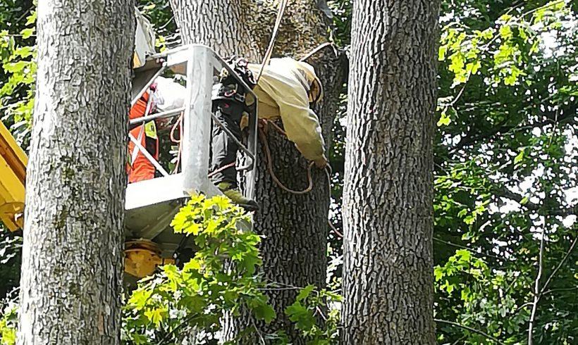 Spektakuläre Übersiedlung von Bienen im Amstettner Edlapark